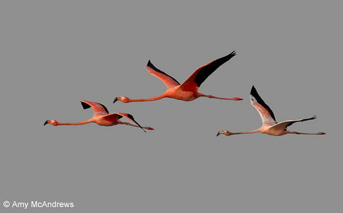 Three American Flamingos in flight