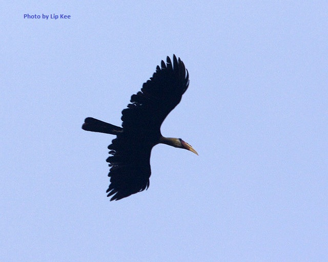 Maybe a Black Hornbill - this bird was photographed in Malaysia