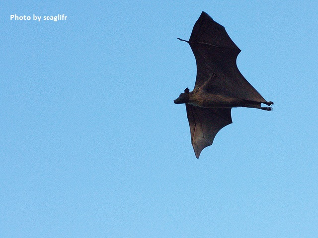 Flying Fox fruit bat in flight