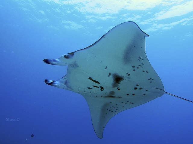 looking up at the underside of a huge Manta ray fish underwater
